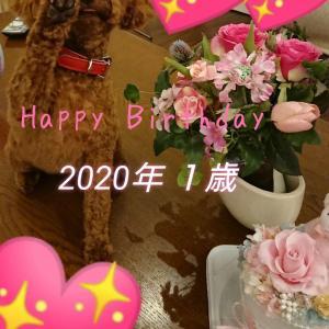 【トイプー】1歳誕生日&お迎え1周年【犬】