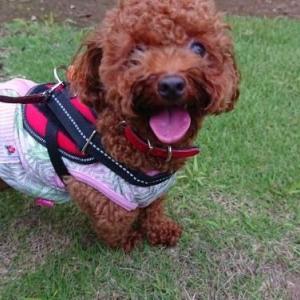【トイプー】夏のお散歩【犬】
