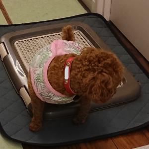 【トイプー】おトイレはみ出る対策-おしっこマット買ってみました【犬】