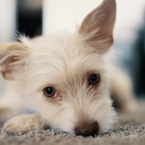TWICE モモが飼っている犬種|ノーリッチ・テリア&ワイマラナーってどんな犬