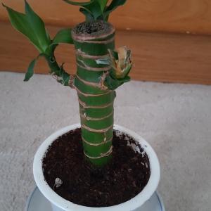 【観葉植物】キングバンブー買ってみました。