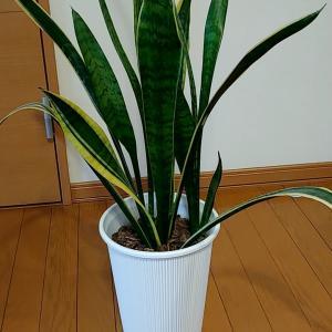 観葉植物サンスベリア(トラノオ)の特徴と増やし方。葉挿しのコツ