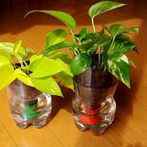 ポトスの挿し木はペットボトルが最適。観葉植物に共通で利用が可能。
