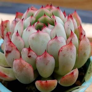 まだ10月なのに、ギュっと締まって寒さに耐える多肉植物の巻