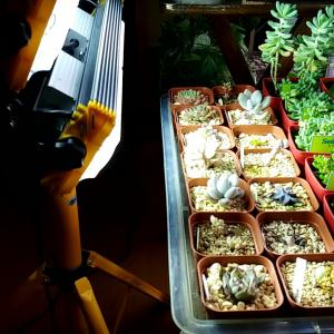 【投光器チャレンジ】冬場の室内多肉。日照不足をLED投光器で解消できるか!?
