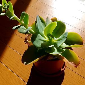 『巨大エケベリア』パリダの葉挿し。花芽の葉から成功から感じる強い生命力。