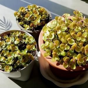 桃色カリシアのヤバすぎる繁殖力。これはこれで面白い。