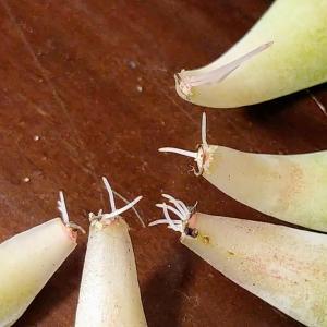 多肉の葉挿し。発根/発芽までのスピードを大幅に上げるひと手間。劇的に改善!?