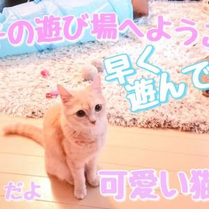 ラテ子の仕草やクセのある動きが可愛い過ぎるw【可愛い猫動画】【マンチカン】