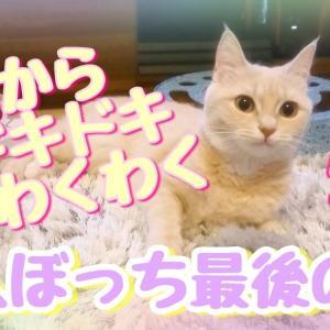 ラテ子一人ぼっち最後の夜!明日からわくわくドキドキ【マンチカン】【可愛い猫動画】