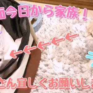 初対面でラテ子ドキドキ❤️ 新入りポテ子の初登場!【マンチカン】【マンチカン子猫】