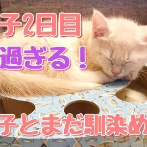 ポテ子2日目ラテ子気にせずおおはしゃぎ 笑 ラテ子は、まだ警戒中!【マンチカン子猫】【猫動画】