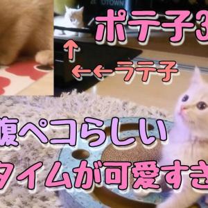 【ポテ子3日目】ラテ子とポテ子ご飯タイム!まだラテ子は、ぎこちない 笑【マンチカン子猫】【猫動画】