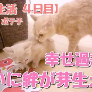 共同生活【4日目】ついに記念すべき日がきました!ラテ子とポテ子に絆が芽生えた!【マンチカン子猫】【猫動画】