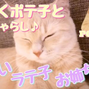 ラテ子とポテ子二匹仲良く麻紐じゃらしで遊んだよ~♪【マンチカン子猫】【猫動画】