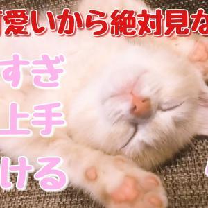 【猫動画】ポテ子甘え上手で可愛さ全開の癒し動画!【マンチカン子猫】【人をダメにする猫】笑
