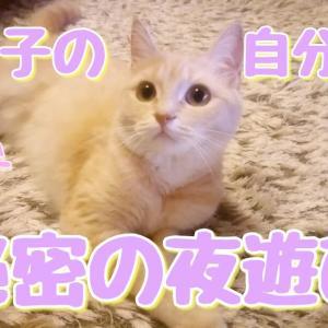 ラテ子自分時間秘密の夜遊び!【ストレス発散】【マンチカン】【猫動画】