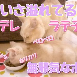 ラテ子の優しさ溢れる動画です!ポテ子は、無我夢中にご飯タイム!【マンチカン】【猫動画】
