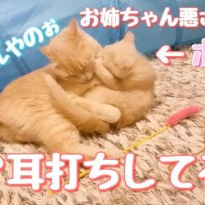 なにやら企むラテ子とポテ子!悪さするんか~!なにしても可愛いから許す!【マンチカン】【猫動画】
