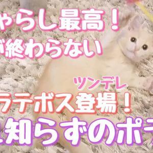 猫じゃらし大好き!疲れ知らずのポテ子ちゃん!ツンデレラテ子も後半登場!【マンチカン】【子猫】