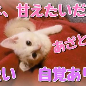 私は、甘えたいだけぇ~♪しつこくないも~ん!あざと女子力アップ!【マンチカン】【猫動画】
