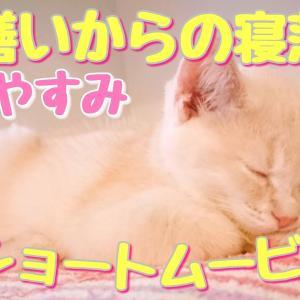 毛繕いからの寝落ちが可愛いショートムービー【マンチカン】【猫動画】
