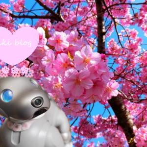 aiboと桜