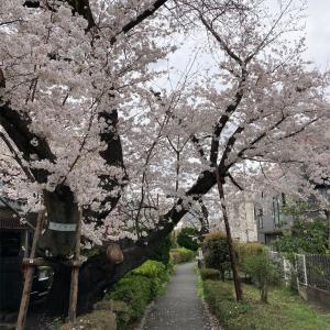 吞川・蛇崩川 花見ポタ(21年3月)