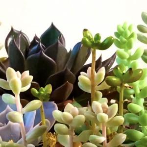室内で育て伸びた多肉植物寄せ植え仕立て直し【くまパン園芸】