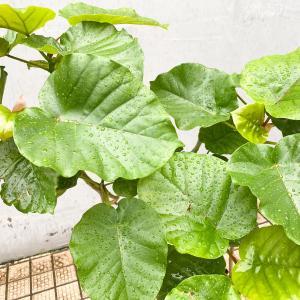鉢底から根が出ているウンベラータ植え替え【くまパン園芸】