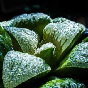 【多肉植物】ハオルチアが大きくなったので植え替えました!【くまパン園芸】