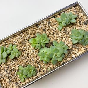 【多肉植物の増やし方】葉挿し後の植え付け【くまパン園芸】
