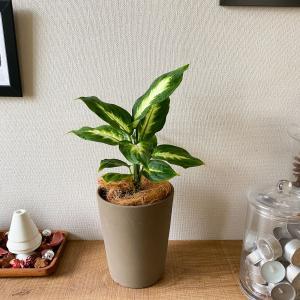 【観葉植物】枯れそうなディフェンバキアを救う・育て方【くまパン園芸】