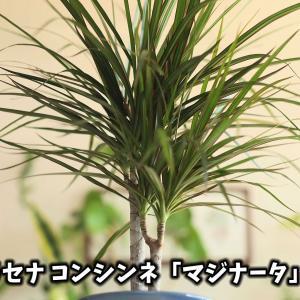 【観葉植物】ドラセナ「コンシンネ」の育て方【くまパン園芸】