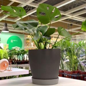 【Vlog】イケアで植物や鉢を探す!【くまパン園芸】