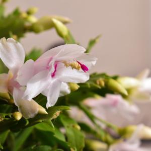 【多肉植物】シャコバサボテンの育て方・増やし方・動画で解説【くまパン園芸】