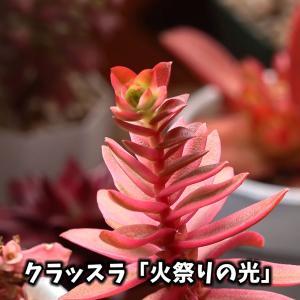 紅葉した多肉植物・2020 前半戦【くまパン園芸】