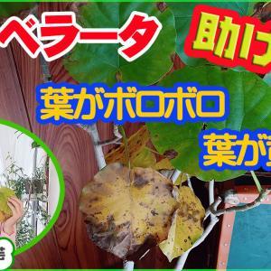 【観葉植物】ウンベラータの葉が黄色!好きな樹形に仕立て直し方【くまパン園芸】