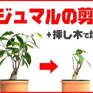 【観葉植物】ガジュマルの剪定 + 挿し木で増やす【くまパン園芸】