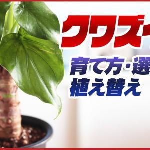 【観葉植物】クワズイモの育て方・選び方・植え替え【くまパン園芸】