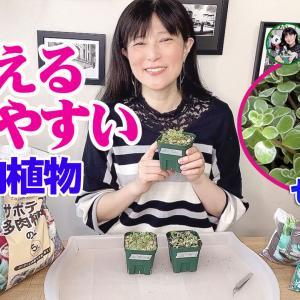増える!育てやすい!多肉植物・セダム【くまパン園芸】