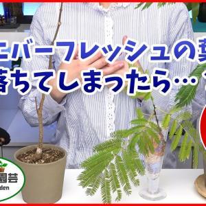 【観葉植物】エバーフレッシュの育て方・葉が落ちてしまったら…【くまパン園芸】
