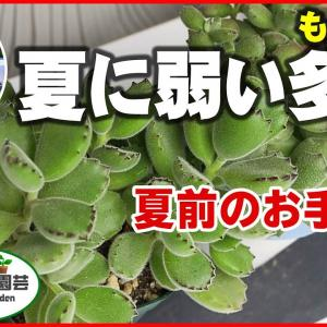 【多肉植物】もふもふ多肉の夏前のお手入れ(熊童子・子猫の爪)【くまパン園芸】