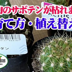 【100均】助けて、サボテンが枯れます!サボテンの育て方・植え替え【くまパン園芸】