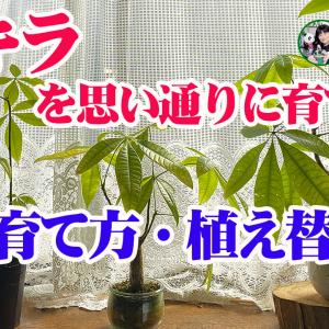 【観葉植物】パキラ・葉焼け!樹形が乱れる!【くまパン園芸】