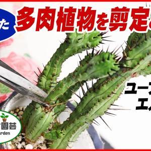 伸びすぎた多肉植物を剪定&増やす・ユーフォルビアエノプラ編【くまパン園芸】