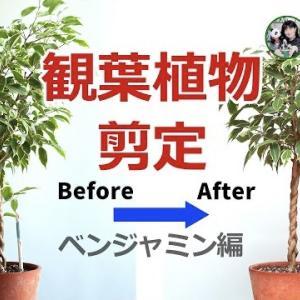 観葉植物の剪定・どうして剪定するの?   ベンジャミン【くまパン園芸】