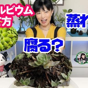【多肉植物】センペルビウムの育て方(古葉・夏越し)【くまパン園芸】