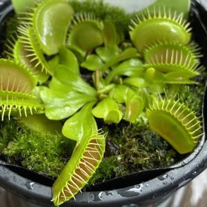 【食虫植物】ハエトリソウ、豪雨をハエと勘違いしちゃったの?