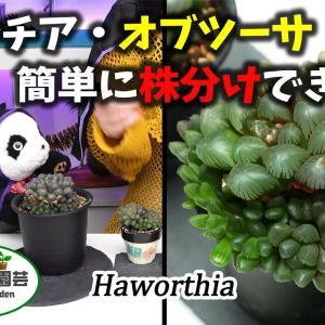 ハオルチア・オブツーサ・簡単に株分けできる!【くまパン園芸】